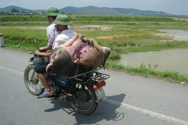 Photo of a pig on a motorbike